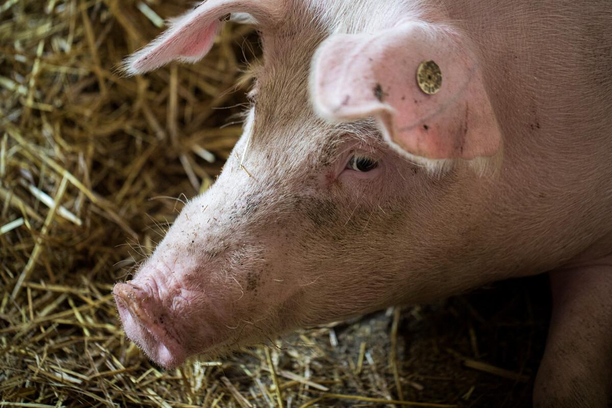 Demeter pig